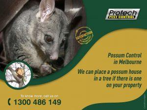Possum-control-Melbourne.jpg
