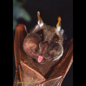 Wahlbergs-Epauletted-Fruit-Bat - Merlintuttlle.com.jpg
