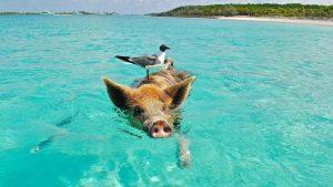 1565651567_yacht_charter_bahamas_pigs.jpg