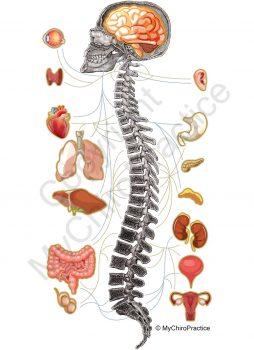 mychiropractice-nerve-chart-1.jpg
