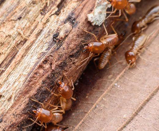 Termite-Control-Melbourne-1.jpg