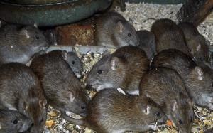 norway-rats.png