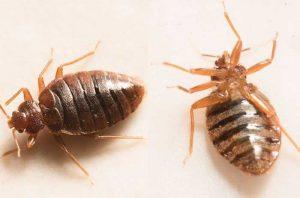 bugs-that-look-like-bed-bugs.jpg