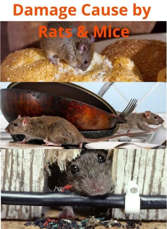 Damage-Cause-by-Rats-Mice.jpg