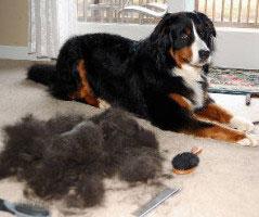 Pet-hair-Removal-from-carpet-6.jpg