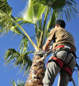 palm-tree-thinning-service.jpg