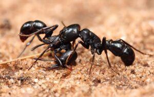 Ant Control Evatt01